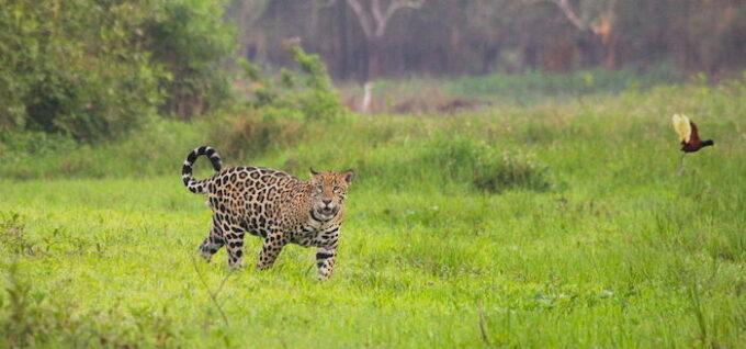 WCS Jaguar Photo by Luke Hunter