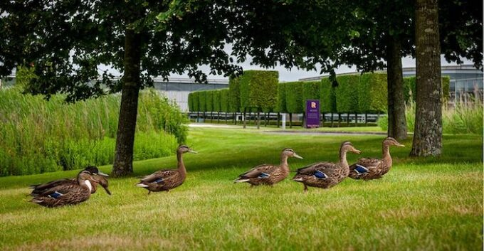 Ducks in the grass - Rolls-Royce to the Rescue in Goodwood Ducks Drama
