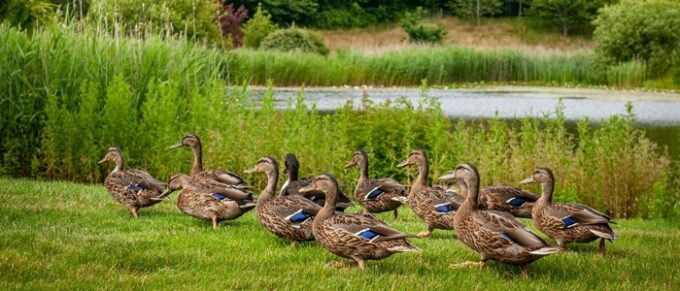 Ducks waddling by a pond - Rolls-Royce to the Rescue in Goodwood Ducks Drama