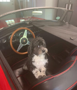 My Co-pilot Quigley, a Havanese now 5 years old in my 1967 MGB Roadster. - Stephen Farrell